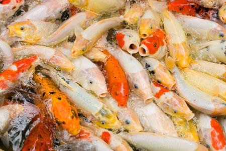 crowded space: concept of crowded space, Japanese carps rush for feeding Stock Photo