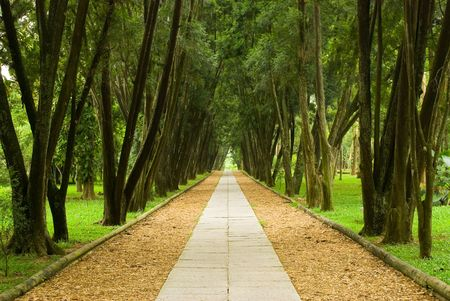 peaceful: walkway in the pine woods, peaceful scene of forest.