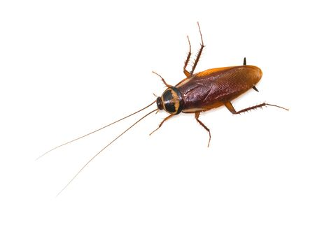 disease control: Isolated cockroach on white background, insect not welcome in kitchen.