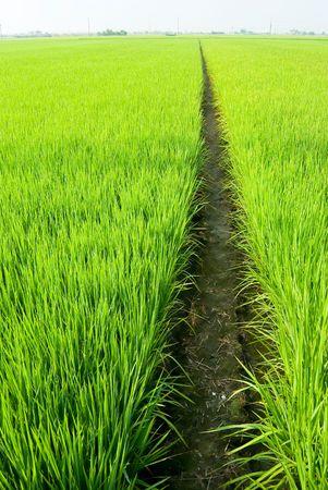 Path in Green field, Green field, Asia paddy field Stock Photo - 6720409