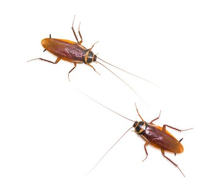 Two isolated cockroach on white background, insect not welcome in kitchen. photo