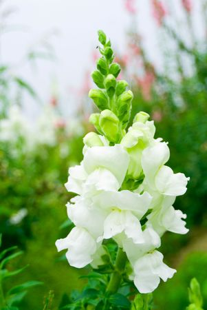snapdragon: Pure white snapdragon flower in wild, nature concept.