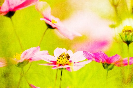 The bee enjoying in the pink Common Cosmos (Cosmos bipinnatus Cav.) photo