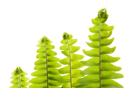 fresh new leaf in a row, green concept,Tuberous Sword Fern photo