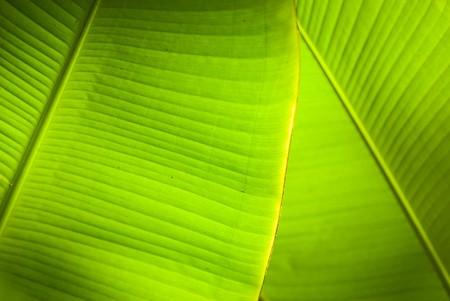 Back light in overlapping green banana leaves. photo