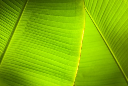 Back light in overlapping green banana leaves. photo
