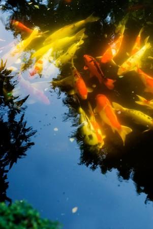 Japanese colored carps (Cyprinus carpio koi) swiming in the pool. photo