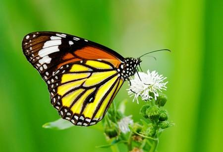 Kleurrijke vlinder voeden met witte bloem
