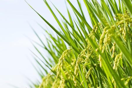 arroz chino: Cosecha, granja de arroz con c�scara bajo el cielo azul de arroz