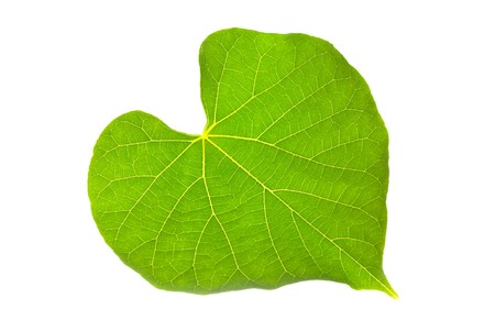 Natural leaf with lovely heart pattern, isolated on white background. photo