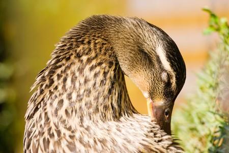 wild duck dress its feathers. maleness mallard. Stock Photo - 7723001