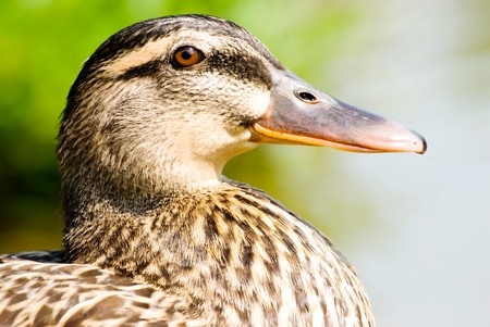 Face of female wild duck. maleness mallard. photo
