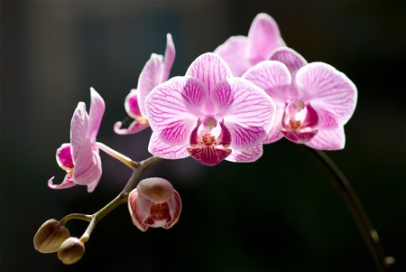 Beautiful moth orchid flowers with back sunlight. Tropical flowers. photo
