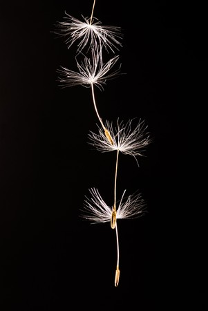 Seeds of dandelion are flying away.  photo