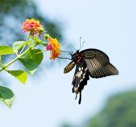 Swallowtail butterfly flying and feeding under blue sky  photo