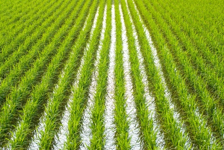 Green field, Asia paddy field Stock Photo - 8367386