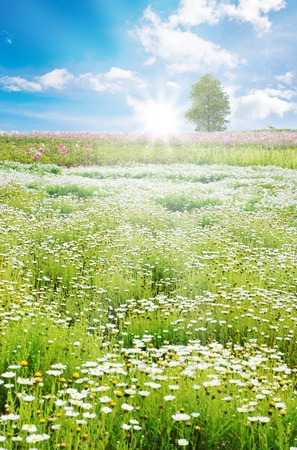Spring field with daisy and colorful flowers photo