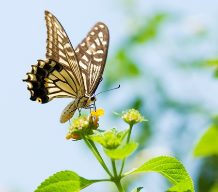 Colorful swallowtail butterfly flying and feeding under blue sky
