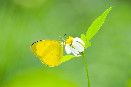 Yellow butterfly (Eurema blanda arsakia) feed on little white flower  photo