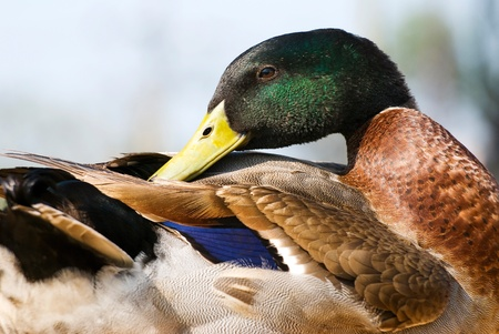 Portrait of wild duck. It dresses feathers. maleness mallard. photo