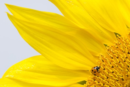 Little red lady bug on blossoming sunflower photo