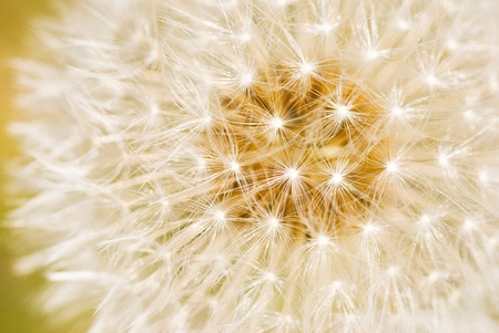 Detailed of dandelion seeds. It just unfolds in the morning. Stock Photo - 9453779