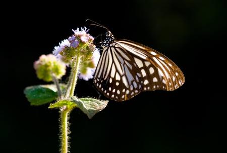 milkweed butterfly: Milkweed butterfly and purple flower. Milkweed butterfly  (Parantica aglea maghaba).