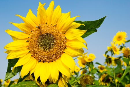 blossom honey: Big sunflower with flying bee  under blue sky Stock Photo