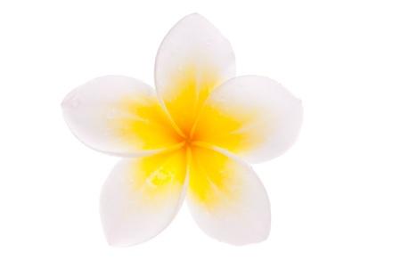 leelawadee: Isolated single yellow Leelawadee flower on white background