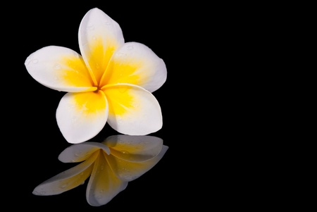 pink plumeria: Leelawadee flower and its reflection on black background