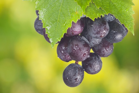 Ripe cabernet grapes ready for harvest in the farm photo
