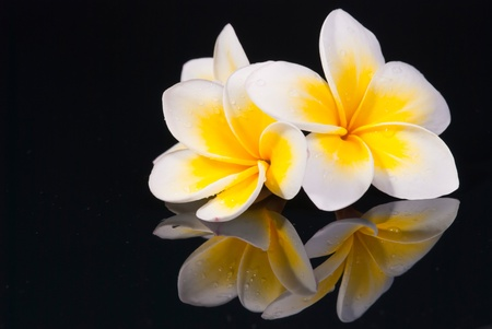 frangipani: Leelawadee flower and its reflection on black background