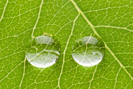 armonia: Dos gotas transparentes en hoja verde sobre fondo blanco, concepto de naturaleza
