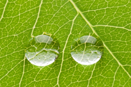 Two transparent drops on green leaf on white background, nature concept