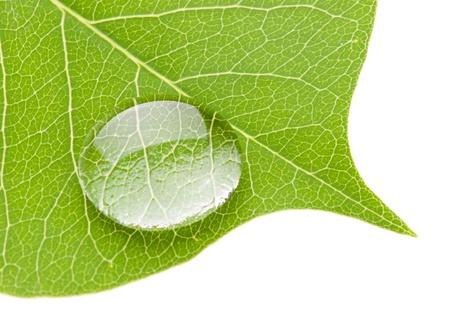 naturaleza: Verde hoja con gota de agua transparente aislada sobre fondo blanco, concepto de naturaleza
