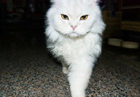 White cat is walking toward. chinchilla cat photo
