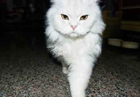 toward: White cat is walking toward. chinchilla cat Stock Photo