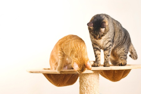 house cat: Two cats play together on playing stand