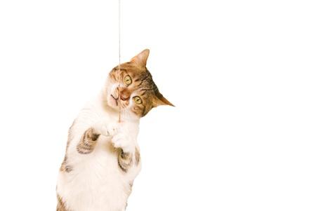 gato jugando: gato juega con un juguete Foto de archivo