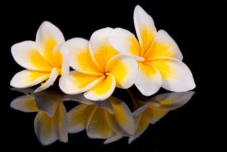 frangipani: Leelawadee flower and its reflecion on black background