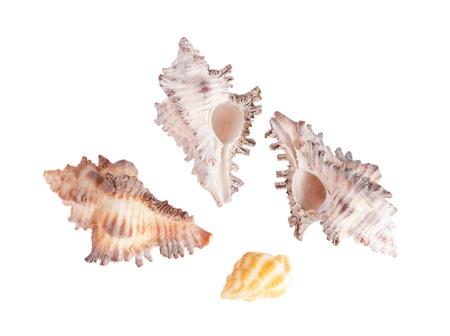 Isolated shells on white background photo