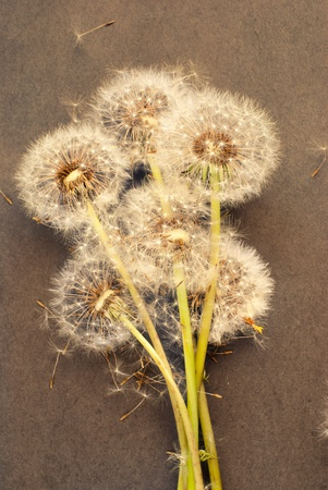Bunch of dandelion seeds on grungy background photo