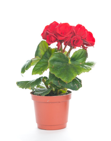 begonia: Beautiful red rieger begonia in the flowerpot with isolated background