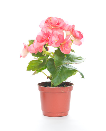 begonia: Beautiful pink rieger begonia in the flowerpot with isolated background