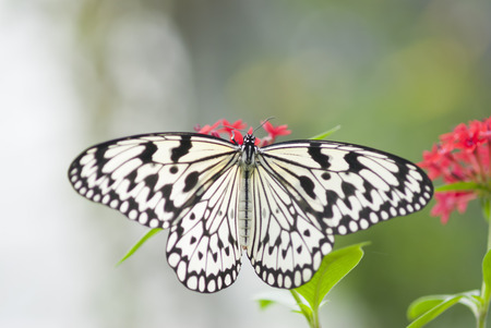 open wings: White butterfly with open wings on red flowers