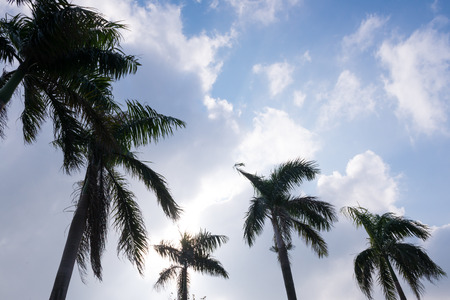 Line of tropical coconut palm trees with their fronds and crowns silhouetted against a cloudy blue sky conceptual of summer vacations and travel photo