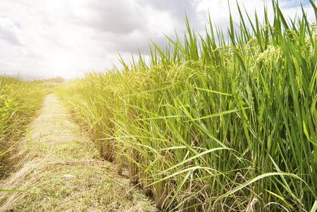 성숙한 쌀, 보도, 대만, 동남 아시아와 쌀 필드 스톡 콘텐츠