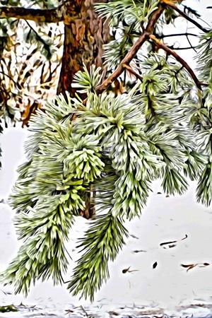 evergreen tree: a winter evergreen tree