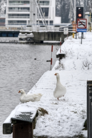 Two white geese near a canal Stock Photo - 17919135