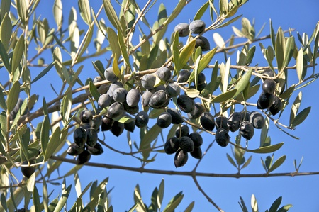 Olives in the branch shortly before the harvest at the end of November